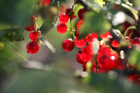 red currants_0959