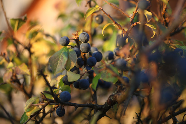 Sloes in November