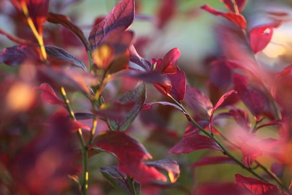 blueberries_November