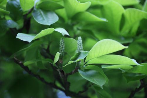 magnolia_2015 24 Mai_4355_